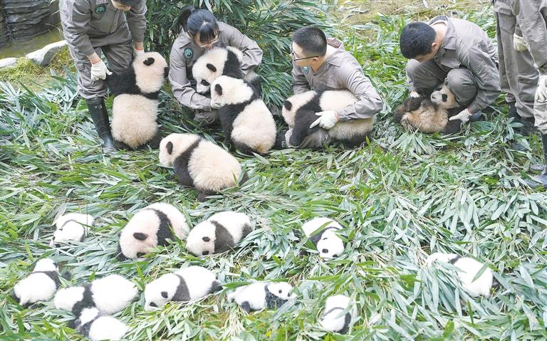废碟片手工制作图片大熊猫